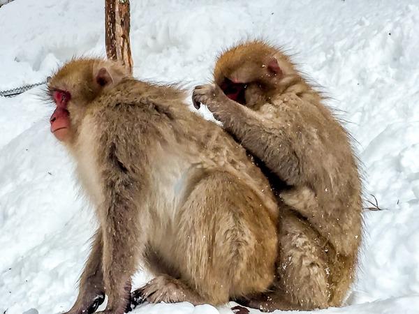 Jigokudani Snow Monkey Park & the Japanese Macaques